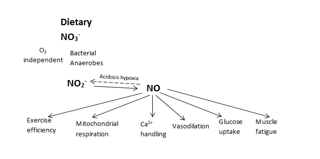 Figure 2: The pathways of nitric oxide (NO) regeneration in humans